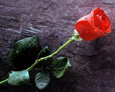 187431-Red Rose