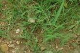 Αγριάδα,  Αγρόπυρο το έρπον
